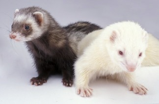 White2020SaltPepper20Ferret.jpg