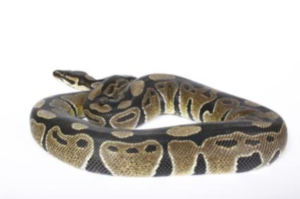 ball_python.jpg